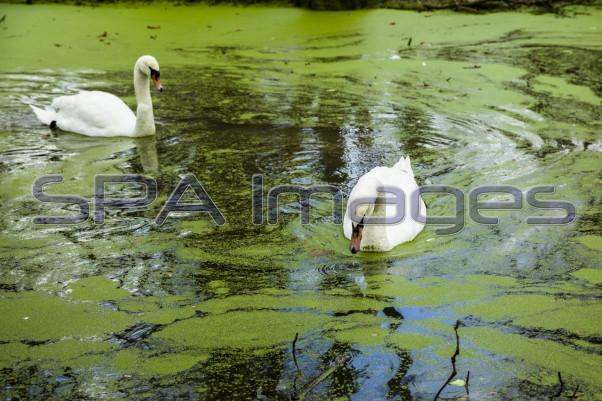 Swans Old Deer Park Richmond Green River 211218D-6767R.jpg