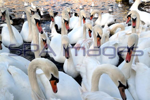 Swans 301118D-0531.JPG