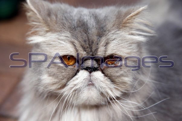 Lochie Persian Cat 281217D-0235.JPG