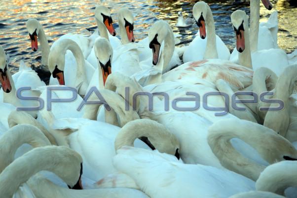 Swans 301118D-0509.JPG