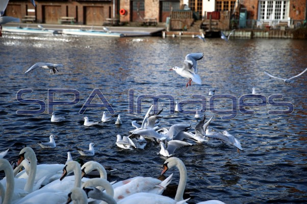 Swans Seagulls 301118D-0617.JPG