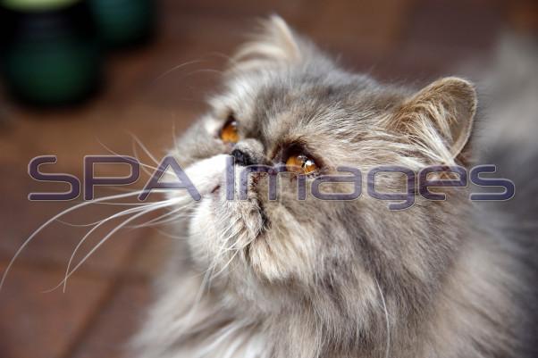 Lochie Persian Cat 281217D-0243.JPG