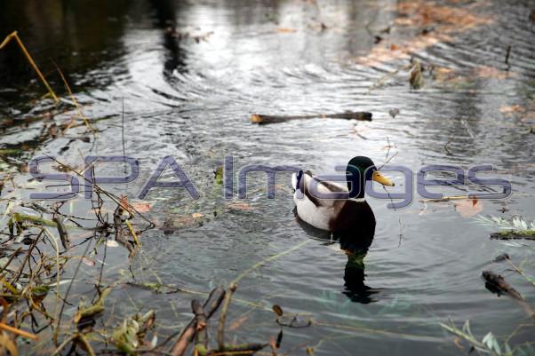 Duck 281118D-0101.JPG