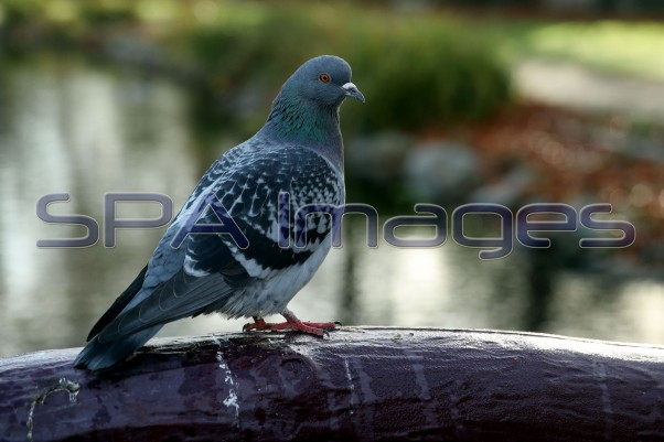 Pigeon 041218D-1278.JPG