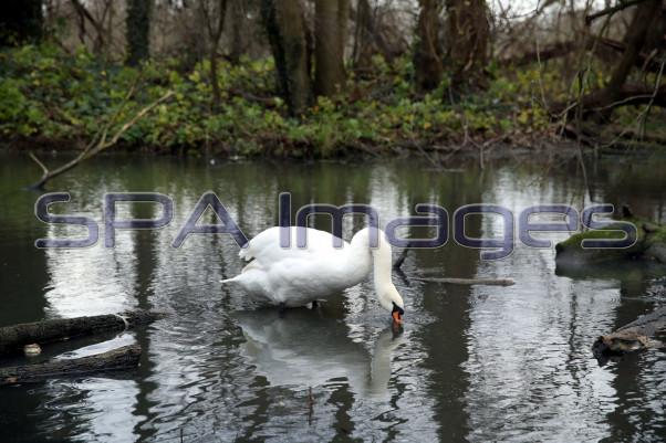 Swans Old Deer Park Richmond 211218D-6733.JPG